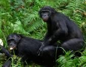 shutterstock_bonobo