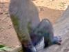 belle_bonobo_d