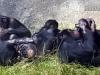 bonobo-cuddle-puddle