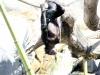 bonobo-hanging_a