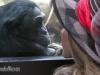 bonobo-kalli_drsuzy3_a