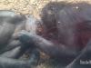 bonobo-kiss