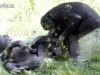 bonobo-play_a