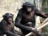 bonobos-maddie-mali-a