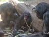 bonobos-twigs_a