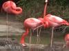 flamingos-a