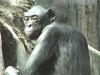 loretta-bonobo-a