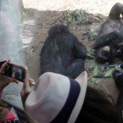 Bonobo Sapien Voyeurs