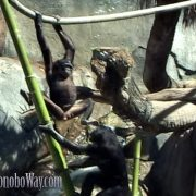 Swinging Bonobos
