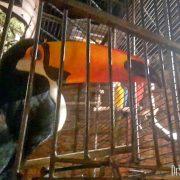 Mozambique Toucan