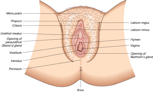 labia_diagram